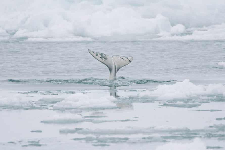 A beluga whale shows its flukes as it dives under the sea ice. Our of respect to tradition and the rhythms of the land, Iñupiat do not hunt belugas during the whaling season.