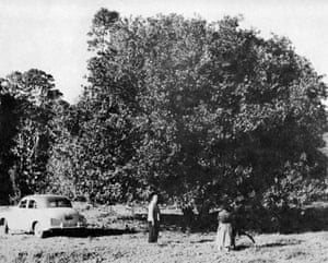 Collecting macadamias near Billinudgel, New South Wales, in 1948