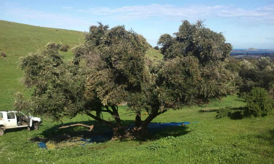 A feral olive tree in South Australia