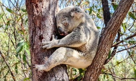 A koala sleeps in a tree on Magnetic Island, Australia
