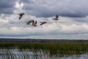 Waders fly over Lake Kalgachinskoye at Vodlozersky national park in northern Russia
