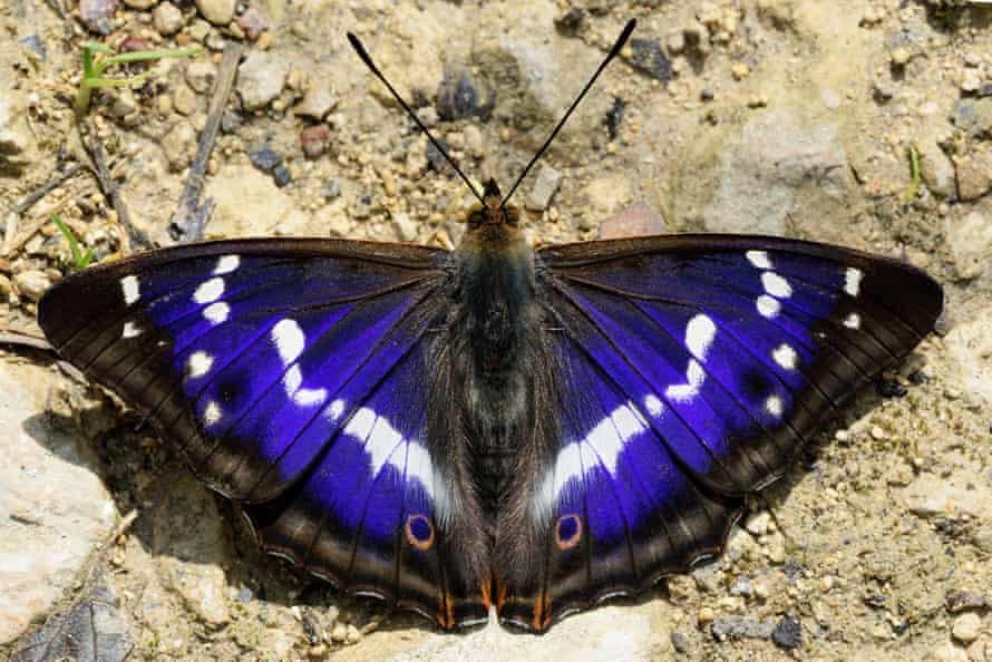 Purple Emperor, Apatura iris, with spread wings sitting on soil