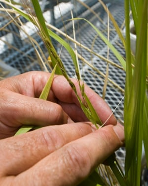 Wild rice is grown in a new greenhouse at the University of Arizona