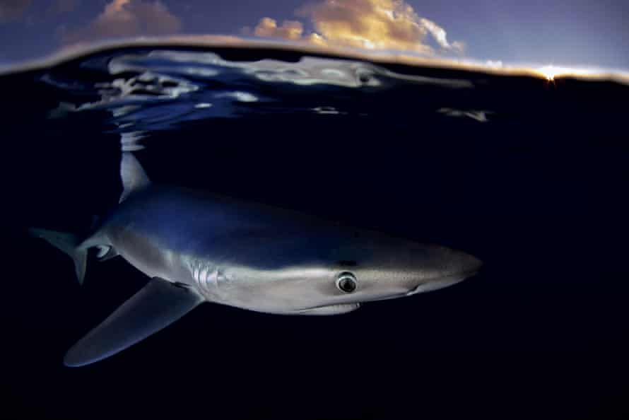 A blue shark swims near the Azores.