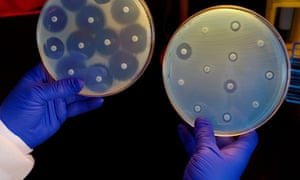 The culture plate on the right has bacteria that is resistant to all of the antibiotics tested