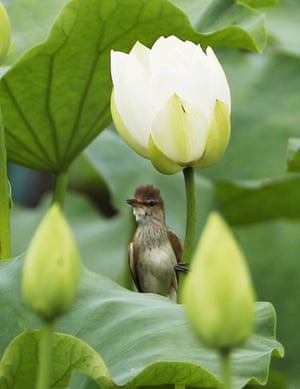 A reed warbler sits in the shade of a white lotus flower in the city of Icheon, South Korea