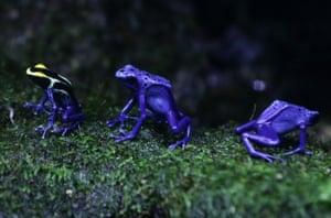 Sentosa, Singapore Poison arrow frogs