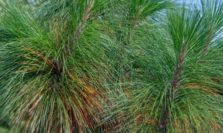 Needles of the longleaf pine (Pinus palustris) which have evolved a water-repellant shape.