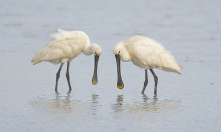 Two adult spoonbills (Platalea leucorodia), standing in water, Cley Marshes, Cley-next-the-sea, Norfolk