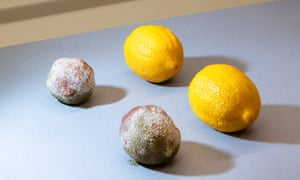 Natural selection: these lemons were bought at the same time, but the ones on the right received the new coating.