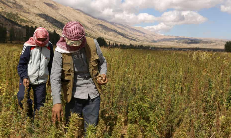 Syrian refugees work in a field of cannabis plants in the village of Yammoune in Lebanon's Bekaa Valley