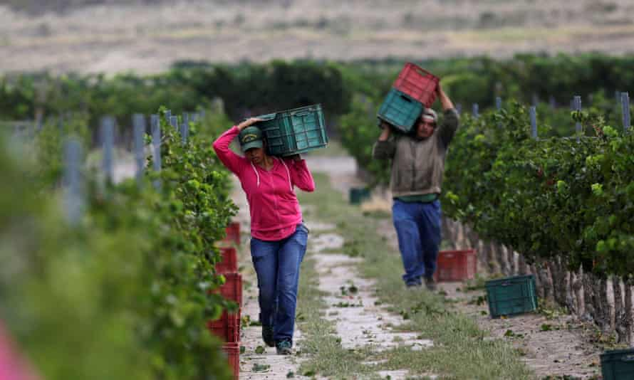 Workers collect grapes during a harvest at Casa Madero.