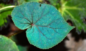 Small wonder: a leaf from cool shade lover, Begonia pavonina.