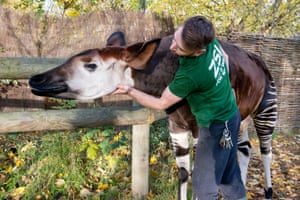 Gareth Chamberlain with an okapi.