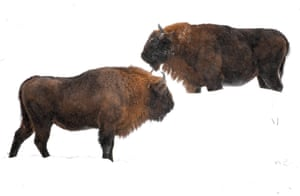 European bison (also known as wisent) at a farm in Muczne, south-eastern Poland.