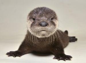 Phoenix, USA A rescued otter