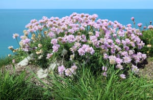 A clump of sea thrift (Armeria maritima) on the cliff edge near Aberaeron.