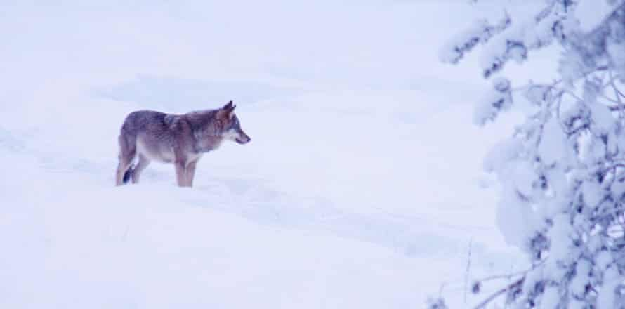 A European grey wolf (Canis lupus lupus), in snowy landscape, Finland