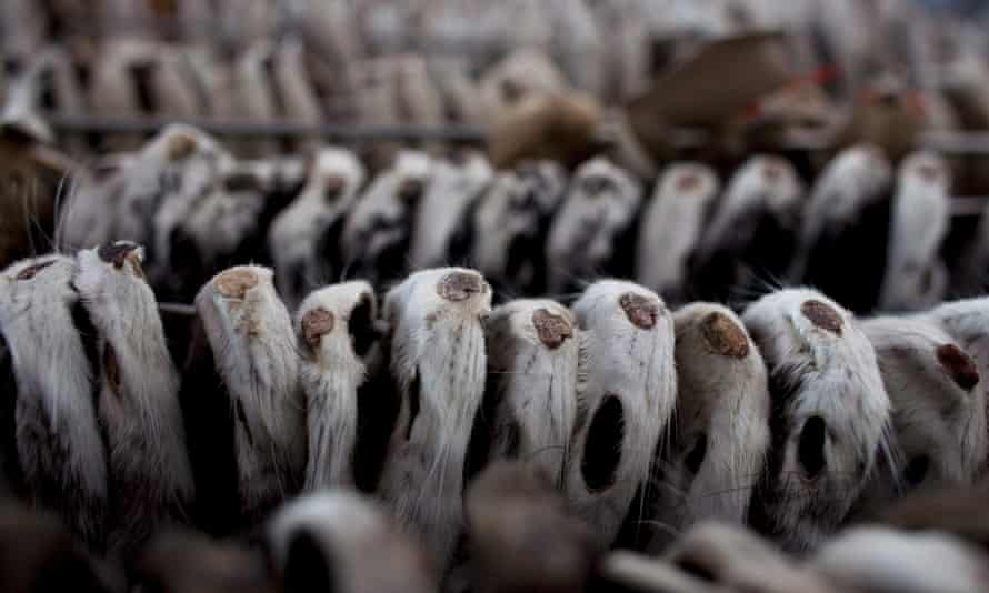 Mink pelts hang to dry at a mink farm in Harbin, China.