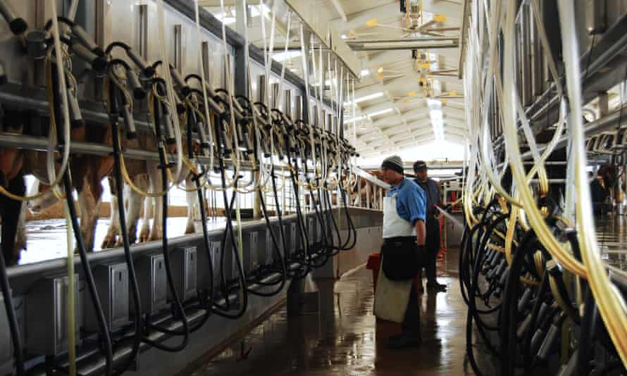 Inside the milking barn at Organic Pastures raw dairy farm in Fresno, California.
