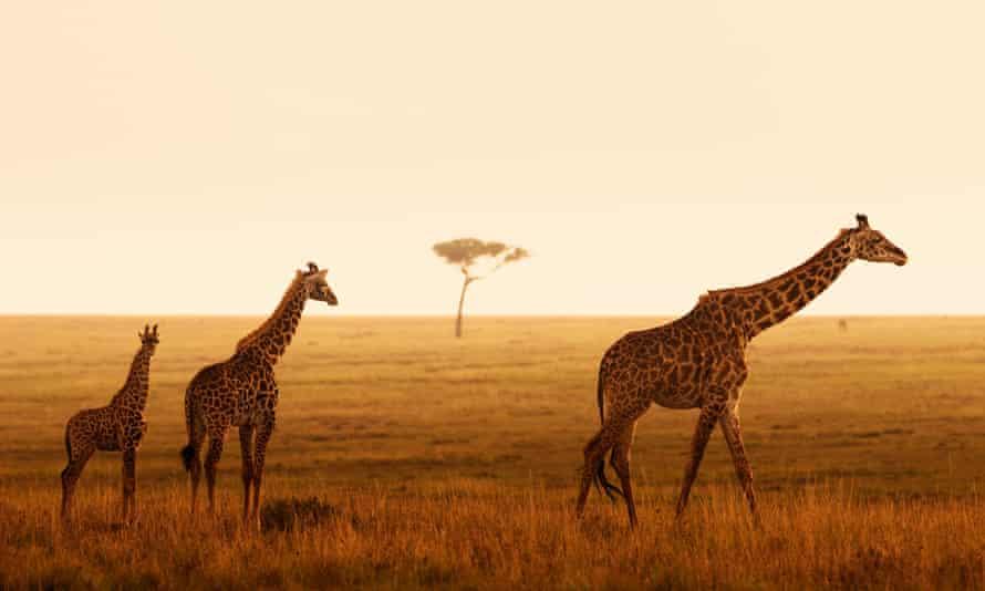 Giraffes on an African plain.