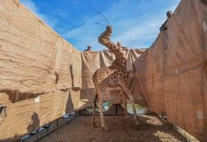 A Rothschild's giraffe