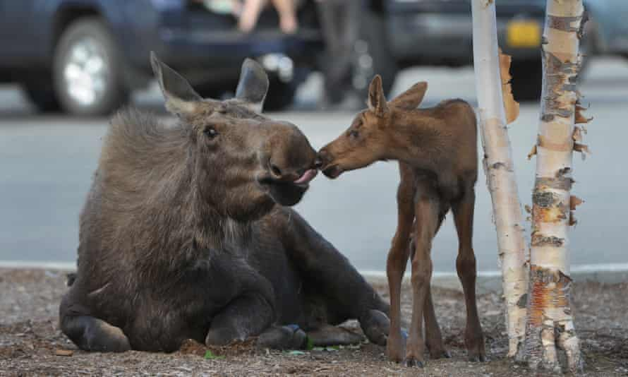 A moose tends to her hours-old newborn calf born in the parking lot near a Lowe's.
