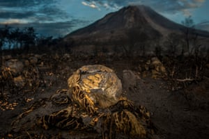 Cabbage crops destroyed by the latest eruption