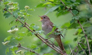 The male nightingale sings to attract a mate. On average, a bird can combine 190 different songs.