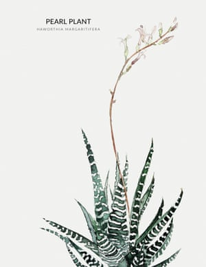 PEARL PLANT  from the book Urban Botanics by Emma Sibley and illustrated by Maaike Koster.