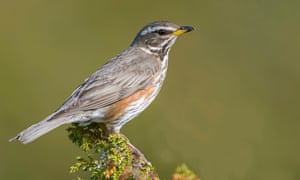 redwing sits on a twig ,