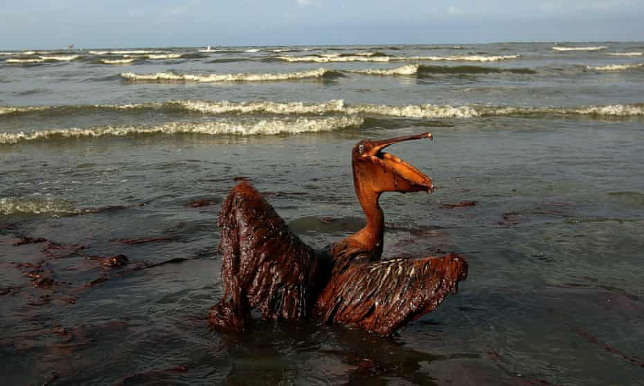 A brown pelican coated in heavy oil from the Deepwater Horizon disaster wallows in the surf on 4 June 2010 on East Grand Terre Island, Louisiana.