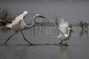 Two egrets fight over a mudskipper in the Mai Po Nature Reserve in Hong Kong