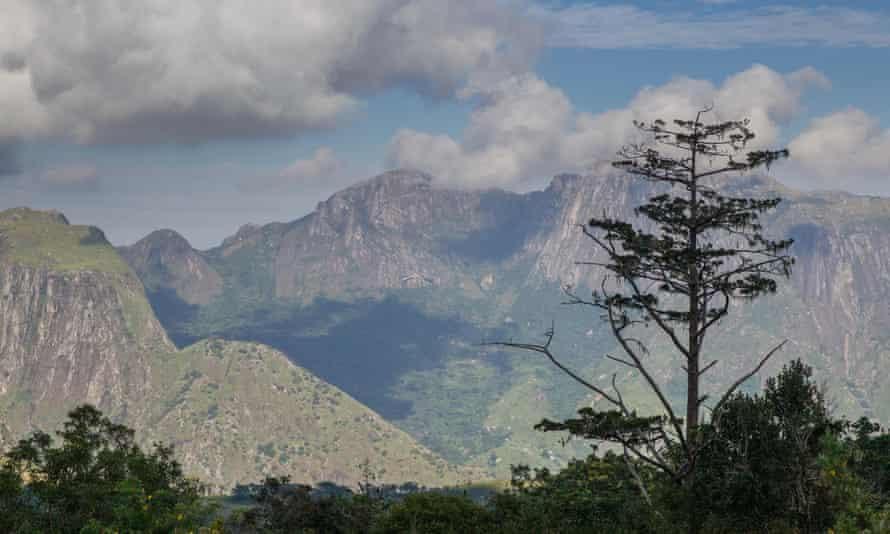 A Mulanje cedar on Mount Mulanje