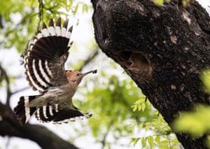 A Eurasian hoopoe (Upupa epops) captured in flight while feeding its chicks at the entrance of their nest in a hole in a tree, in Gyeonggi province, South Korea