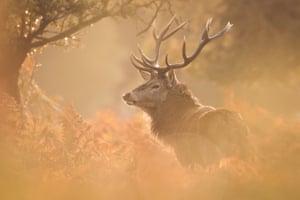 Deer stag Bushy by Becca Fulcher
