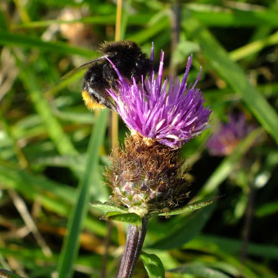 A red-tailed bumblebee on common knapweed.