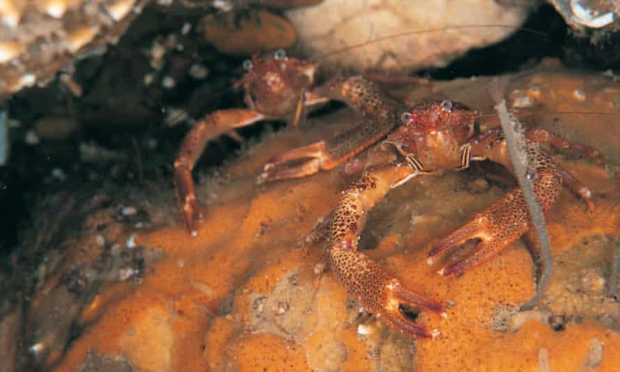 Squat lobsters, off Sheringham, Norfolk