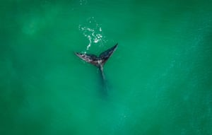 A southern right whale (Eubalaena australis) is spotted off a beach in Imbituba, Santa Catarina state, Brazil. The southern right whale migrates from Antartica at this time of the year