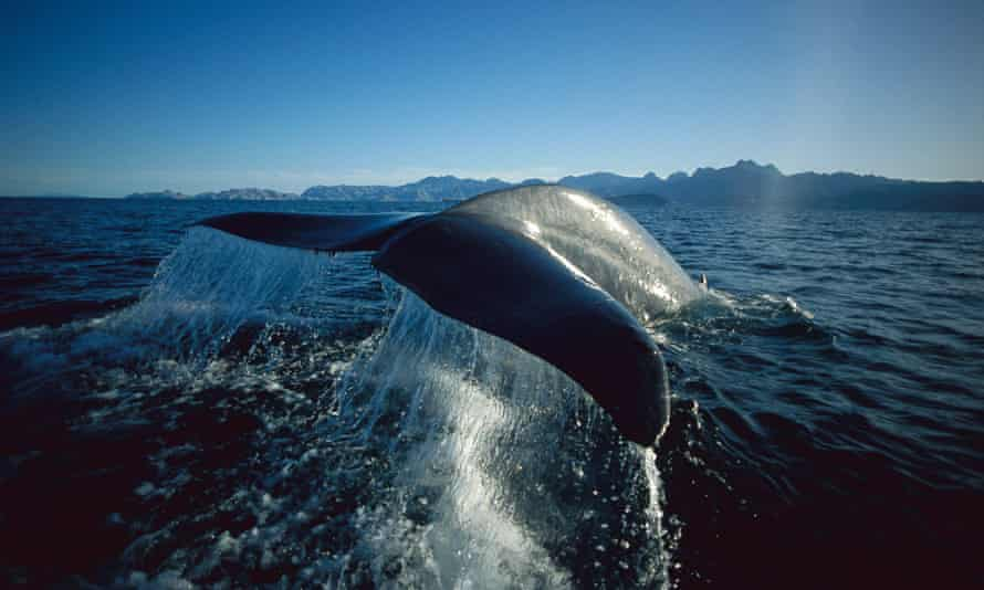 Blue whale in the Sea of Cortez, Mexico.