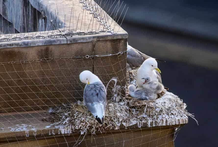A family of kittiwakes nesting on a building ledge in Newcastle city centre. Spikes and netting are often used to deter the birds.