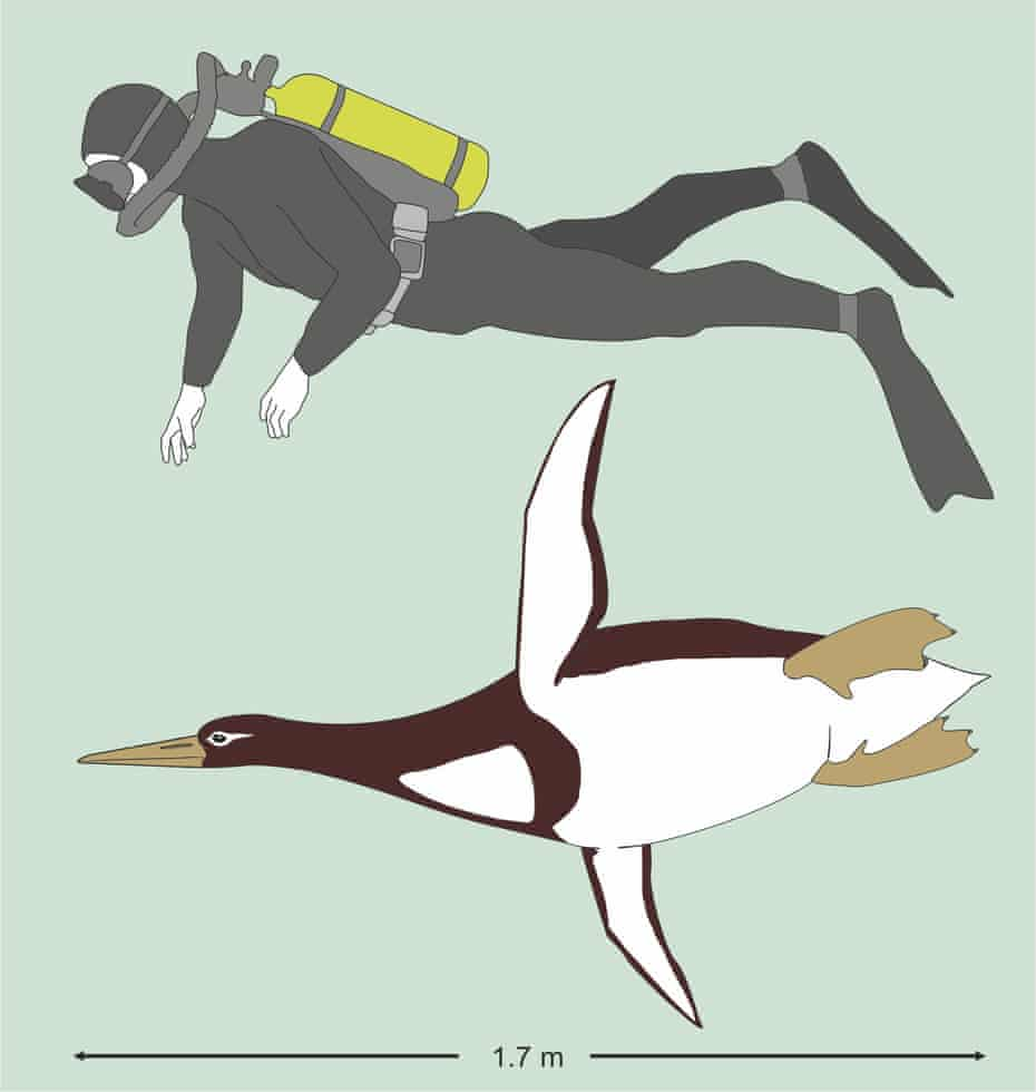This illustration shows the sizes of an ancient giant penguin Kumimanu biceae and a human being
