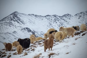 The Changra goats in the high mountains