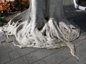 A tree breaking up a concrete path, Tenerife, Canary Islands, Spain