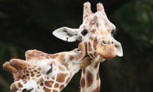 A giraffe licking another giraffe's neck