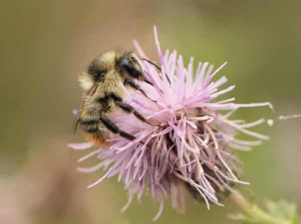 A shrill carder bee