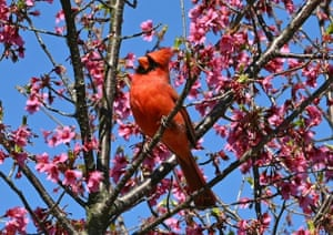 A cardinal sits in a flowering tree at the National Arboretum in Washington, DC.