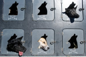 Musher Justin Savidis' dogs wait in the truck for their turn at the restart of the Iditarod trail sled dog race …