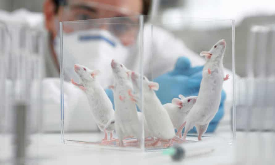 Scientist watching mice in laboratory