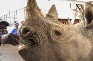 A critically endangered black rhino is coaxed into a cage in the Addo Elephant Park, near Port Elizabeth, South Africa